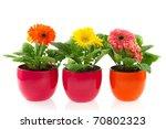 colorful gerber plants in row... | Shutterstock . vector #70802323