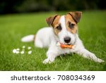 Jack Russell Puppy Lying On A...