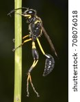 Small photo of Sceliphron (mud daubers), a genus of Hymenoptera of the Sphecidae family of wasps