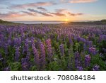 wild lupins blooming in rugged... | Shutterstock . vector #708084184