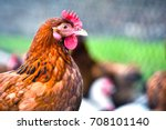 chickens on traditional free...   Shutterstock . vector #708101140