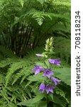 Purple Campanula In Forest...