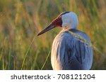 wattled crane adult in... | Shutterstock . vector #708121204