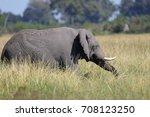 african elephant walking... | Shutterstock . vector #708123250
