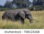 african elephant walking... | Shutterstock . vector #708123268