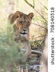 lioness walking though tall... | Shutterstock . vector #708140518