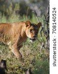 lioness walking though tall... | Shutterstock . vector #708140524