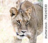 lioness walking though tall... | Shutterstock . vector #708140530