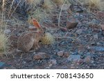 Small photo of African savanna hare , African rabbit