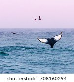 a humpback whale waves its tail ... | Shutterstock . vector #708160294