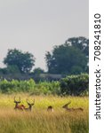 red lechwe standing in tall... | Shutterstock . vector #708241810