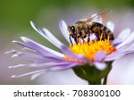 Stock photo detail of honeybee in latin apis mellifera european or western honey bee sitting on the violet or 708300100