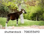 Single Okapi Standing By A Tree