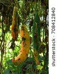 Small photo of Cucurbitaceae at garden thai