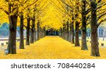 Row Of Yellow Ginkgo Tree In...