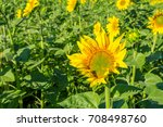 yellow field of sunflowers | Shutterstock . vector #708498760