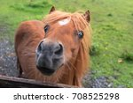 Miniature Horse. Young...