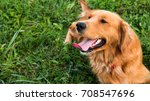 Stock photo golden retriever dog gorgeous pet dog lying down on grass with tongue sticking out looking away 708547696
