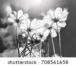 cosmos flower on black and... | Shutterstock . vector #708561658