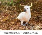 Sulphur Crested Cockatoos  ...