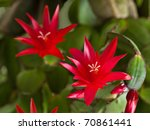 Vibrant Red Christmas Cactus...
