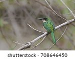 Small photo of A Rufous tailed Jacamar (Galibula ruficauda) perched on a branch against a blurred natural background, Pantanal, Brazil