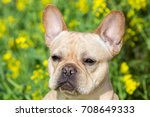 young french bulldog head shot | Shutterstock . vector #708649333