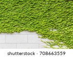fresh green ivy crawling on the ... | Shutterstock . vector #708663559