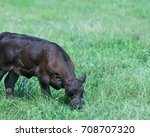 Small photo of Isolated Calf Grazing