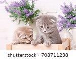 portrait of two scottish...   Shutterstock . vector #708711238
