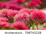 red aster in the flowerbed | Shutterstock . vector #708742228