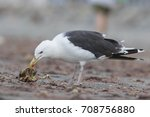 Small photo of Great black-backed gull (Larus marinus), also known as the greater black-backed gull feeding wih crab