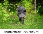 wild boar on the forest in... | Shutterstock . vector #708785074