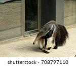 the giant anteater ... | Shutterstock . vector #708797110