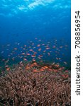 Small photo of Anthias hovering over acropora hard corals near Nusa Penida, Bali, Indonesia