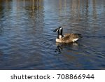 Two Canada Geese Floating On A...