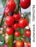 ripe red cherry tomatoes... | Shutterstock . vector #708943786
