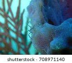 sea spider climbing on an azure ...   Shutterstock . vector #708971140