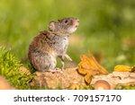 wild bank vole  myodes... | Shutterstock . vector #709157170
