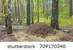 Large Anthill In The Forest.