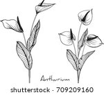 anthurium flowers illustration ... | Shutterstock .eps vector #709209160