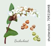 buckwheat plant and its seeds... | Shutterstock .eps vector #709218448