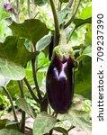 growing the eggplants ... | Shutterstock . vector #709237390