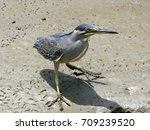 green backed heron  striated... | Shutterstock . vector #709239520