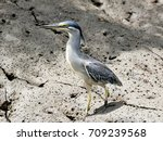 green backed heron  striated... | Shutterstock . vector #709239568