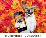 jack russell dog   lying on the ... | Shutterstock . vector #709264564