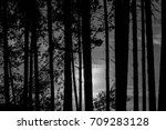 high pines of the siberian... | Shutterstock . vector #709283128