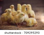 Close Up Yellow Chicks On The...