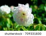 crimean rose flower in... | Shutterstock . vector #709331830
