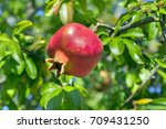 Pomegranate  Ripening On The...